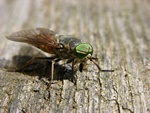 Tabanidae